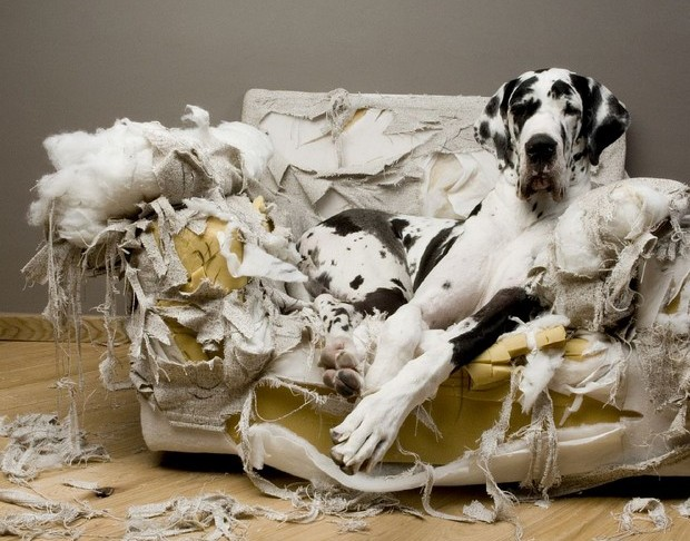 great dane sitting on couch it destroyed after anxiety attack