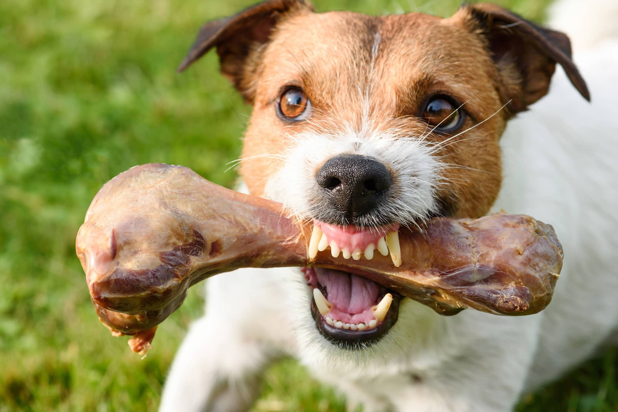 Dog with bone showing aggression